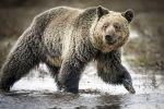 grizzlybear_Jim Urquhart_Reuters