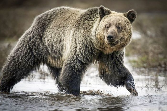 grizzlybear_Jim Urquhart_Reuters