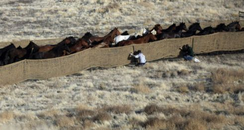 Wild horses are rounded up by the Bureau of Land Management in the West Desert of Utah in 2012 Jim Urquhart Reuters