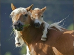 wild horses wallpapers_mother andfoal
