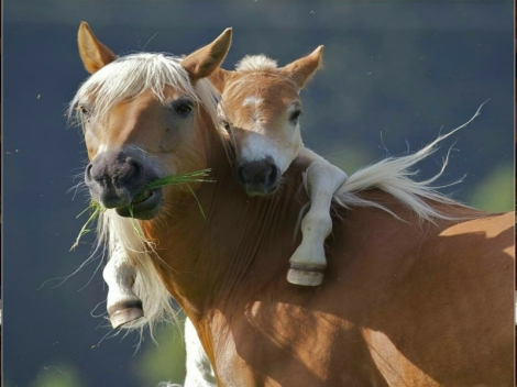 wild horses wallpapers_mother and foal