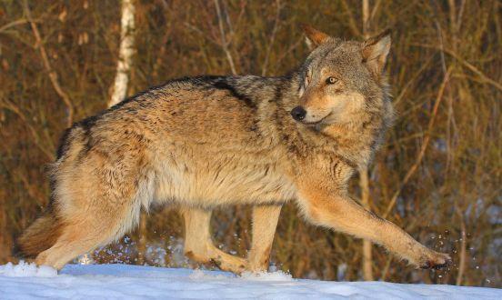 Wolves Have Taken Over Chernobyl Valeriy Yurko/T.G. Deryabina