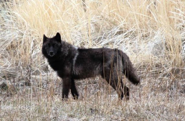 Black female wolf 831f Yellowstone National Park_2012 NPS