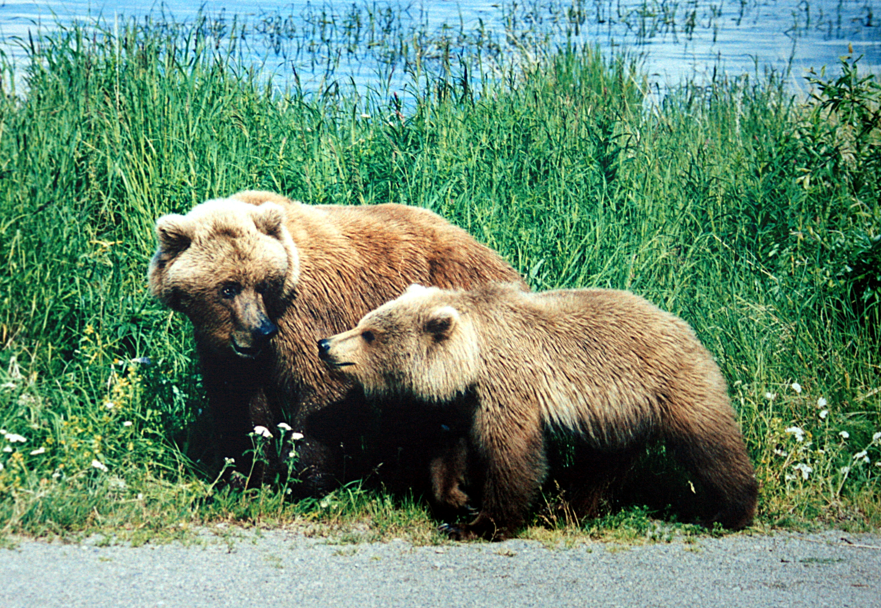 Obama Administration Pushes To Delist Yellowstone Grizzly ... - photo#22