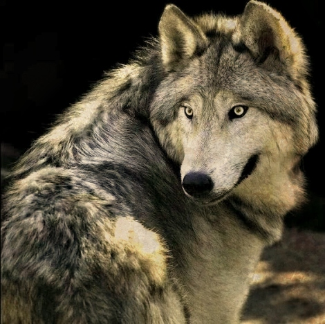 Gray wolf pinterest 1