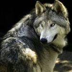 Gray wolf pinterest
