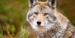 graywolves_Photo Anna Tuzel GettyImages