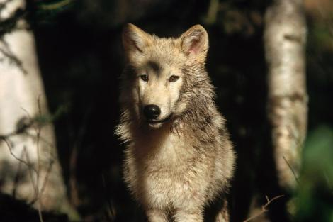 Gray Wolf PHOTOGRAPH TIM FITZHARRIS_ MINDEN PICTURES NATIONAL GEOGRAPHIC