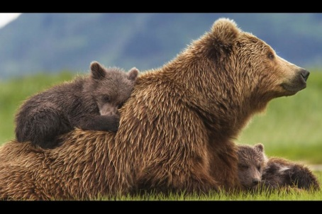 Grizzly-Bear-and-Cubs_Disneynature