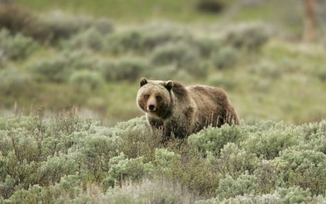 Grizzly Bear NPS