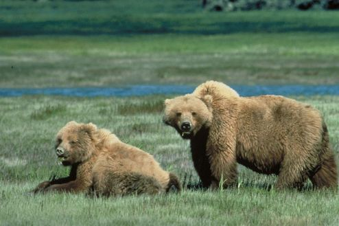 grizzly mom and cub - USFWS