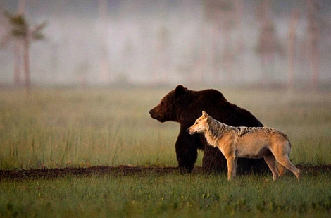 Wolf and Bear