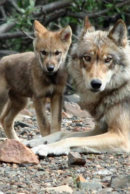 Alpha female with her pup NPS Alaska