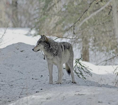 Glacier National Park Gray wolf NPS 2