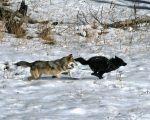 gray wolves Credit Dan Stahler, courtesy of UCLA